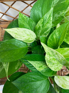 "Pothos (Marble Queen) - in 6"" Nursery Pot"