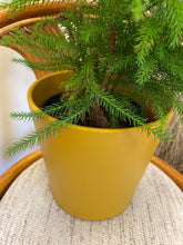 "Load image into Gallery viewer, Norfolk Island Pine (Araucaria heterophylla) in 7.5"" Hand-Painted Pot (Retro Gold)"
