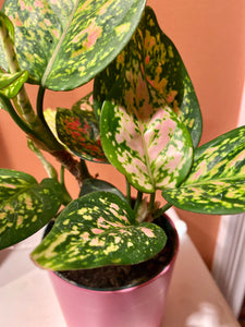 "Aglaonema (Wishes) Chinese Evergreen  in 4"" Pink Pot"