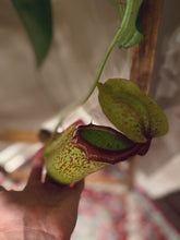 Load image into Gallery viewer, **Reserved for Customer** Pitcher Plant in Hanging Basket