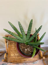 "Load image into Gallery viewer, Sansevieria (Starfish) Snake Plant"" in 14"" Hand-Painted Terracotta Pot"