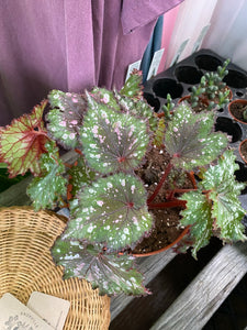 "Begonia (Rex) Plant in 6"" Nursery Pot"