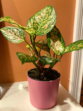 "Load image into Gallery viewer, Aglaonema (Wishes) Chinese Evergreen  in 4"" Pink Pot"