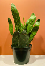 "Load image into Gallery viewer, Cactus (Prickly Pear - Spineless) in 6"" Pot"