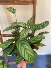 "Load image into Gallery viewer, Calathea - Setosa- ""Compact Star"" Prayer Plant in 8"" Nursery Pot"