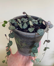 "Load image into Gallery viewer, String of Hearts (Ceropegia woodii) in 5.5"" Distressed Gray Pot"
