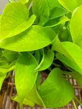 "Load image into Gallery viewer, Pothos (Neon) - in 6"" Nursery Pot"
