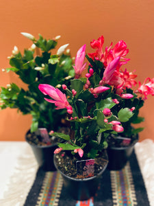 "**NEW**Thanksgiving Cactus** (zygocactus - Schlumbergera) - in 4"" pot"