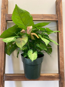 "Syngonium (Nepthytis) - Arrowhead Plant in 6"" Nursery Pot"