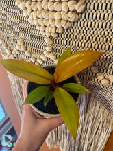 "Load image into Gallery viewer, Philodendron (Prince of Orange) in 4"" White Terra-cotta Pot"