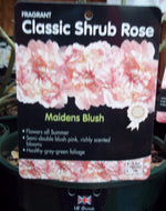 Rose - Shrub 'Maidens Blush' 4L