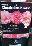 Rose - Shrub 'Cornelia' 4L