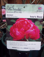 Rose - Shrub 'Ivor's Rose' 4L