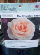 Rose - Shrub 'The Churchill Rose' 4L