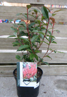 Photinia fraserii 'Carre Rouge' - 3L