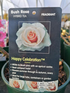 Rose 'Happy Celebration'