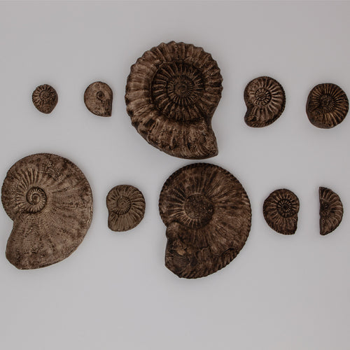 Ammonite evolution