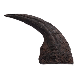 Allosaurus fragilis Claw