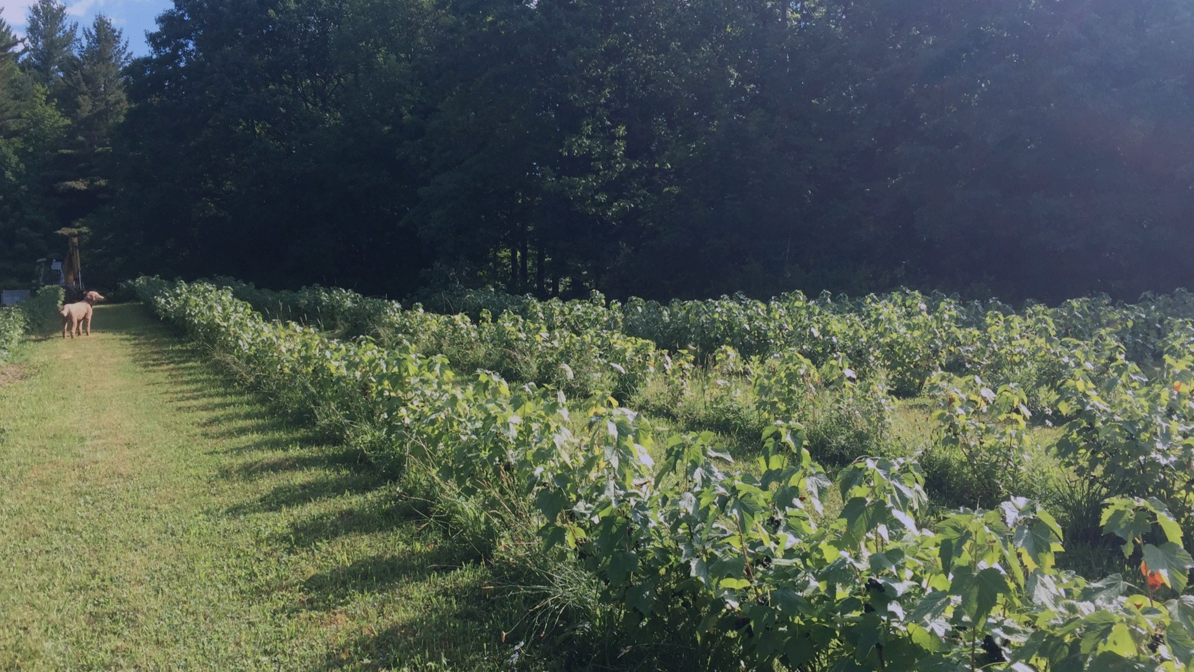 Our Blackcurrant Farm in Vermont
