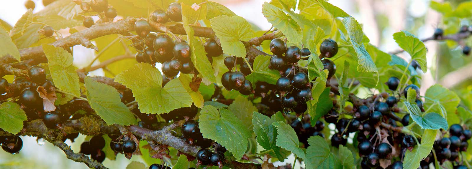 Blackcurrants - Our Berries Page Header