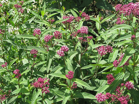 By peganum from Small Dole, England - Asclepias incarnata, CC BY-SA 2.0, https://commons.wikimedia.org/w/index.php?curid=47473261