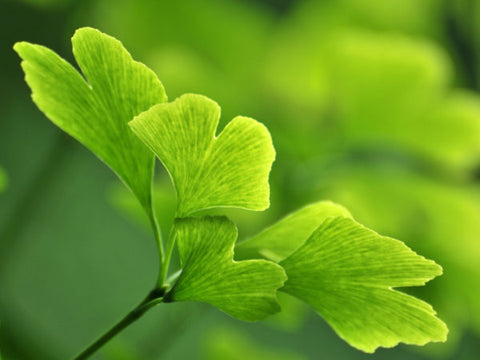 Ginkgo biloba health benefits include a massive load of antioxidants