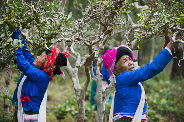 Ancient Wild Tree premium organic puer tea pluckers in Yunnan, China