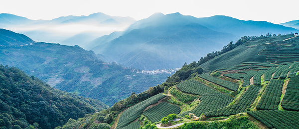 Organic Green Tea Garden in Guizhou, China