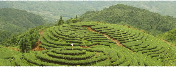 Premium Organic White tea King White Peony (Bai Mu Dan) plantation in Fujian province, China.