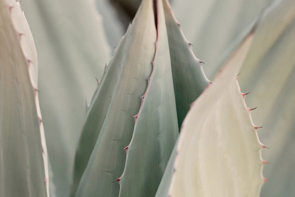 "Sara Donaldson Fine Art Print Shop | Agave Series | ""Serene"" 