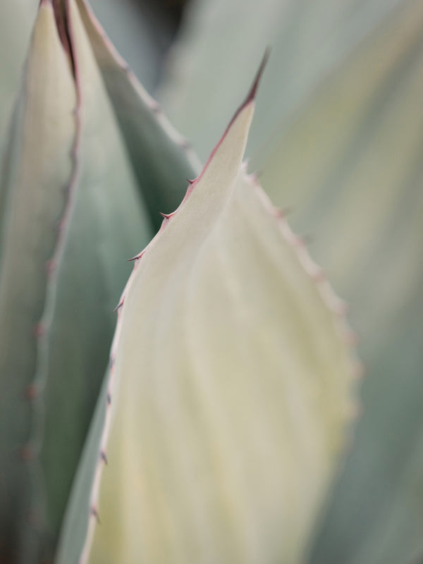 "Agave Series, Fine Art Print by Sara Donaldson | ""Protected"" 