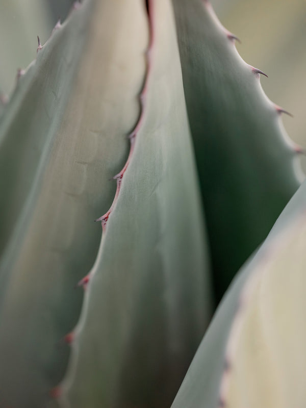 "Sara Donaldson Photograph | Agave Series | ""Embraced"" 