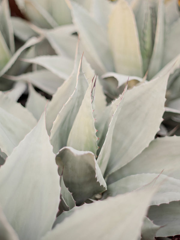 "Agave Series by Sara Donaldson | ""Harmonious"" 