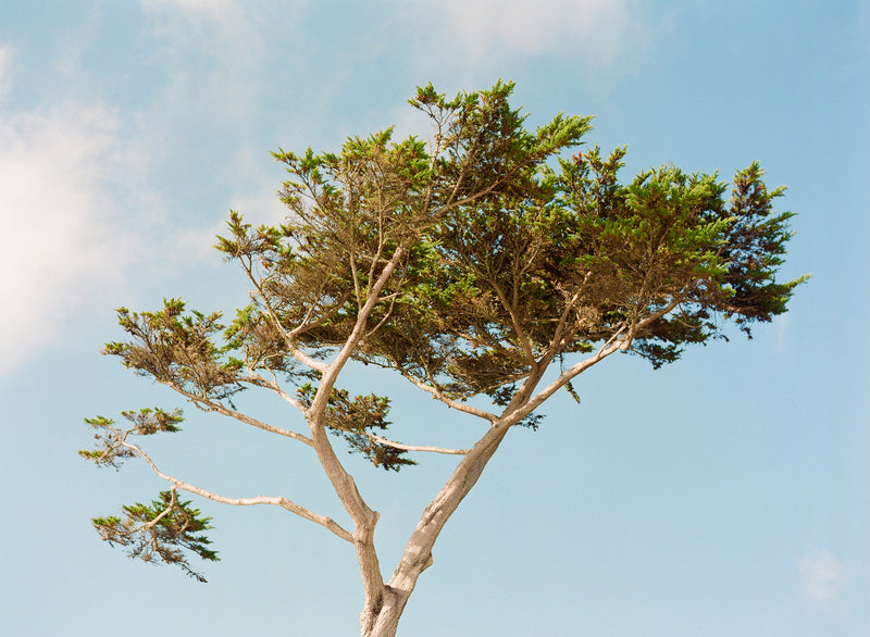 "Sara Donaldson Fine Art Print | Growth Series | ""Carmel Cypress"" 