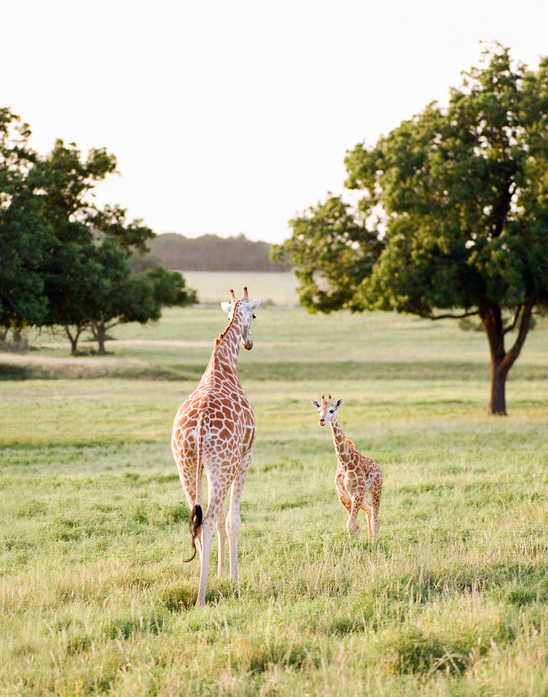 "Sara Donaldson Photography | Giraffe Series | ""Attentive"" 