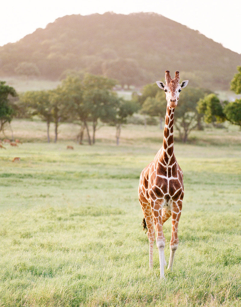 "Sara Donaldson Fine Art Print | Giraffe Series | ""Inquisitive"" 