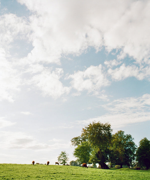 "Sara Donaldson Print Shop | Vista Series | ""Cattle Grazing"" 