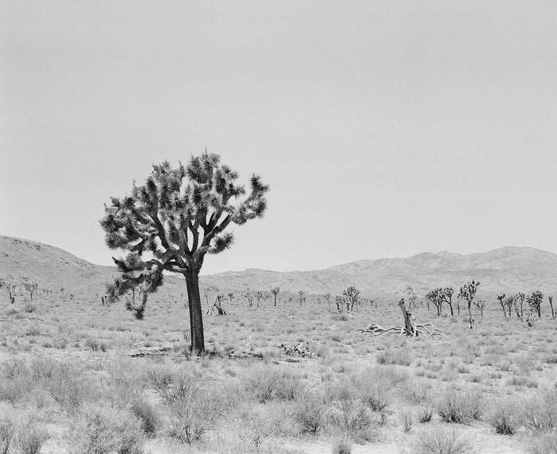 "Sara Donaldson Print Shop | Joshua Tree Series | ""Resilience"" 