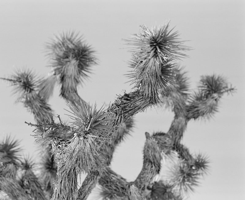 "Sara Donaldson Fine Art Print | Joshua Tree Series | ""Bristled"" 