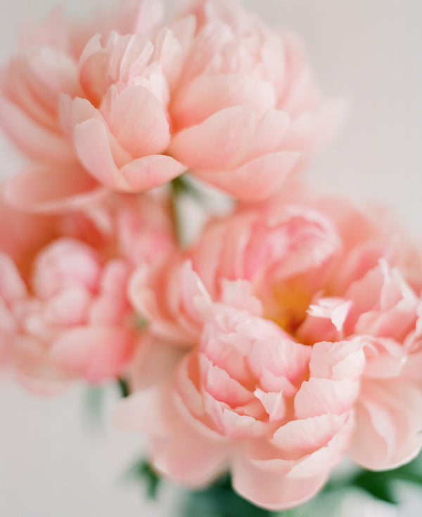 "Sara Donaldson Print Shop | Peony Series | ""Meditative"" 