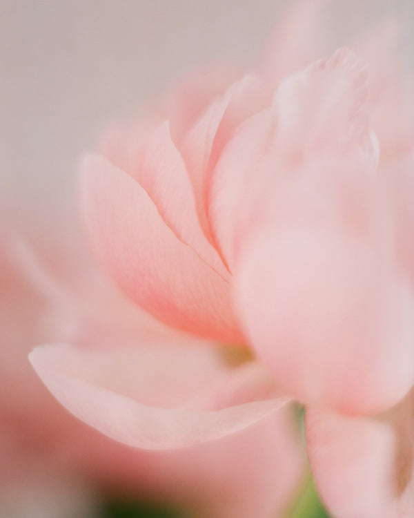 "Sara Donaldson Fine Art Print Shop | Peony Series | ""Unfolding"" 