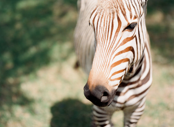 "Zebra Series by Sara Donaldson | ""Tenderness"" 