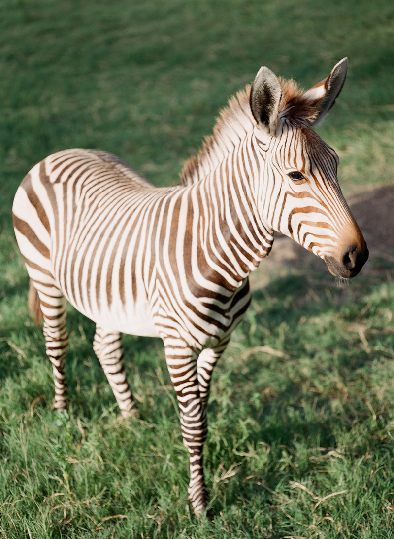 "Zebra Series by Sara Donaldson | ""Curious"" 