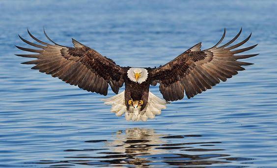 Bald Eagle Landing in Water - diamond-painting-bliss.myshopify.com