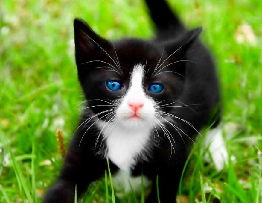 Black Kitten with Blue Eyes - diamond-painting-bliss.myshopify.com