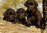 Black Labrador Retriever Puppies - diamond-painting-bliss.myshopify.com