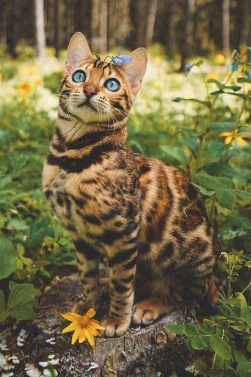 Blue eye Bengal Cat - diamond-painting-bliss.myshopify.com