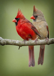 Cardinal Birds Couple - diamond-painting-bliss.myshopify.com