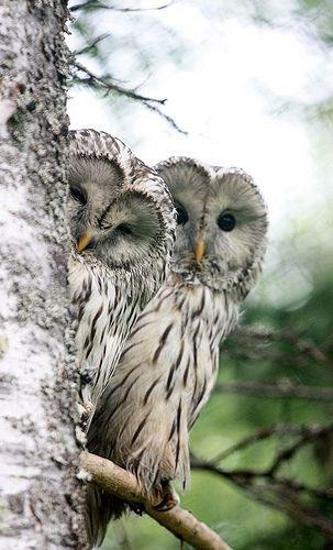 Couple of Owl Behind Tree - diamond-painting-bliss.myshopify.com