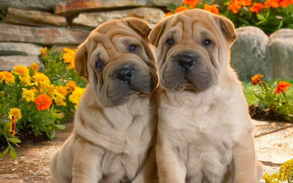 Cute Dog Pair - Shar Pei Breed - diamond-painting-bliss.myshopify.com